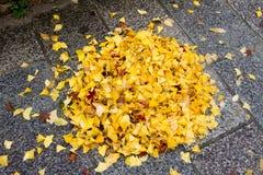 Gele Ginko-bladeren op de vloer Royalty-vrije Stock Fotografie