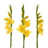 Gele gladiolen Stock Fotografie