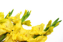 Gele gladiolen op de linkerzijde bij de bodem op een witte achtergrond. Royalty-vrije Stock Afbeelding
