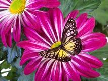 Gele glazige tijgervlinder Royalty-vrije Stock Afbeeldingen