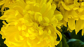 Gele Glorie stock afbeelding