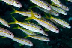 Gele goatfish (martinicus Mulloidichthys) Royalty-vrije Stock Afbeelding