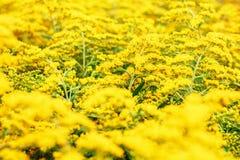 Gele Goldenrod bloemen Solidago Royalty-vrije Stock Afbeeldingen