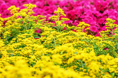 Gele Goldenrod bloemen Solidago Stock Foto