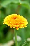 Gele goudsbloem Royalty-vrije Stock Fotografie