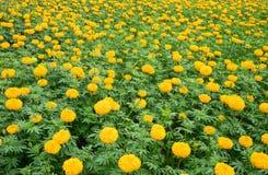 Gele goudsbloem die in Thailand bewerkt Stock Foto