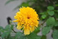 Gele goudsbloembloem in de tuin Royalty-vrije Stock Afbeelding