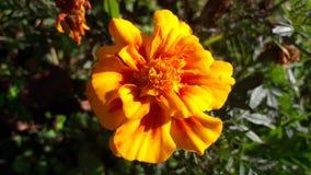 Gele goudsbloembloem met schaduwen van sinaasappel Royalty-vrije Stock Fotografie