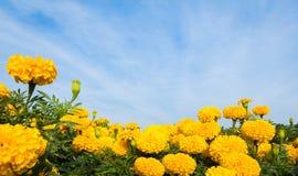Gele goudsbloembloemen met hemel Stock Afbeeldingen