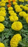 Gele goudsbloemen Stock Foto's