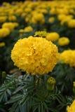 Gele goudsbloemenbloemen Royalty-vrije Stock Foto