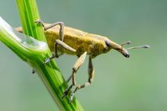 Gele graanklanderkever (Curculionidae) stock foto's