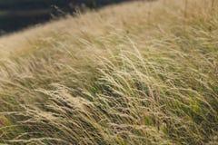 Gele grasachtergrond Royalty-vrije Stock Afbeelding