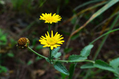 Gele grasbloem Stock Afbeeldingen