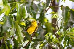 Gele Grasmus in Kaaiman Brac Stock Afbeeldingen