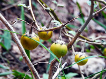 Gele groentenaubergine royalty-vrije stock foto's