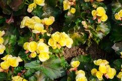 Gele grote begonia's Stock Foto