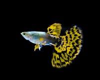 Gele guppy vissen die op zwarte zwemmen stock afbeeldingen