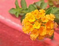 Gele Haagbloem, Lantana-camara stock afbeeldingen