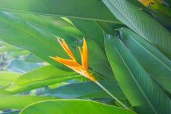 Gele Heliconia-bloem Royalty-vrije Stock Foto's
