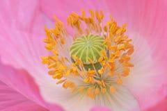 Gele Helmknoppen op Roze Vlaanderen Poppy Flower 02 royalty-vrije stock afbeelding