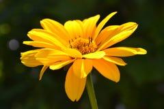 Gele het bloeien heliopsis in zonnige dag stock afbeeldingen