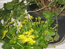 Gele het moerasgoudsbloem van de de lente bloeiende installatie in moeras royalty-vrije stock foto's