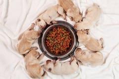 Gele het puppyhonden die van Labrador rond het voeden van kom van hun slapen Royalty-vrije Stock Afbeeldingen