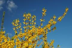 Gele het tot bloei komen forsythia tegen de blauwe hemel royalty-vrije stock afbeelding