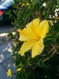Gele hibiscus Stock Foto