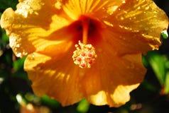 Gele hibiscus Royalty-vrije Stock Foto's