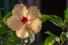 Gele Hibiscus rosa-sinensis in de V.A.E royalty-vrije stock afbeelding