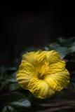 Gele hibiscus tegen een donkere achtergrond Stock Foto