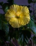 Gele hibiscus tegen een donkere achtergrond Stock Afbeeldingen