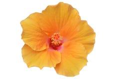 Gele hibiscusbloem Royalty-vrije Stock Foto