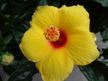 Gele hibiscusbloem Stock Foto