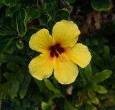Gele hibiscusbloem op Maui Stock Fotografie