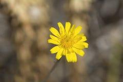 Gele Hieracium-Bloemen (Hawkweed) Stock Foto's