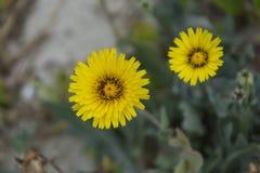 Gele Hieracium-Bloemen (Hawkweed) Royalty-vrije Stock Foto