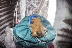 Gele hond in de Karpaten voor het Nieuwjaar Stock Afbeelding
