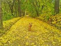 Gele hond in het de herfstpark Stock Afbeeldingen