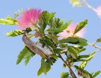 Gele honingseter in roze acaciaboom Royalty-vrije Stock Afbeeldingen