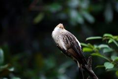 Gele hoofd kleine Vogel met gouden bek Royalty-vrije Stock Fotografie