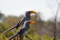 Gele hornbills Royalty-vrije Stock Afbeeldingen