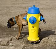 Gele hydrant en een hond Stock Foto