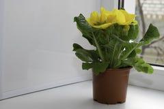 Gele ingemaakte bloemtribunes op de vensterbank stock foto's