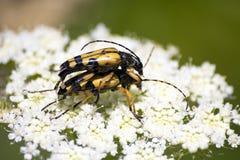 Gele insecten die over witte bloem copulating stock foto