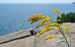 Gele installatie in het Nationale Park van Acadia, Maine royalty-vrije stock fotografie