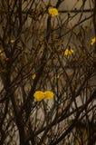 Gele ipe boom Stock Afbeeldingen