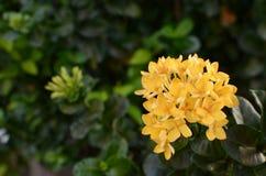 Gele Ixora Stock Afbeelding
